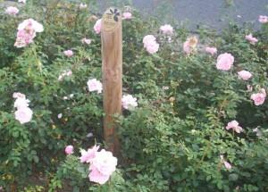 Hier steht ein Lobstebbel. Mitten in den Rosen.